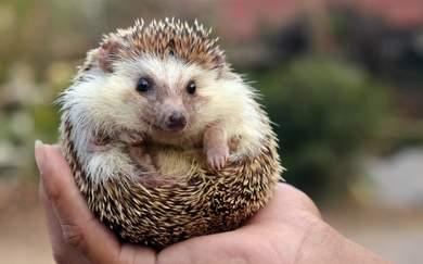 Hedgehog Cafe Opens in Japan, Renders Cat Cafes Obsolete