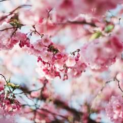 Sydney Cherry Blossom Festival 2016
