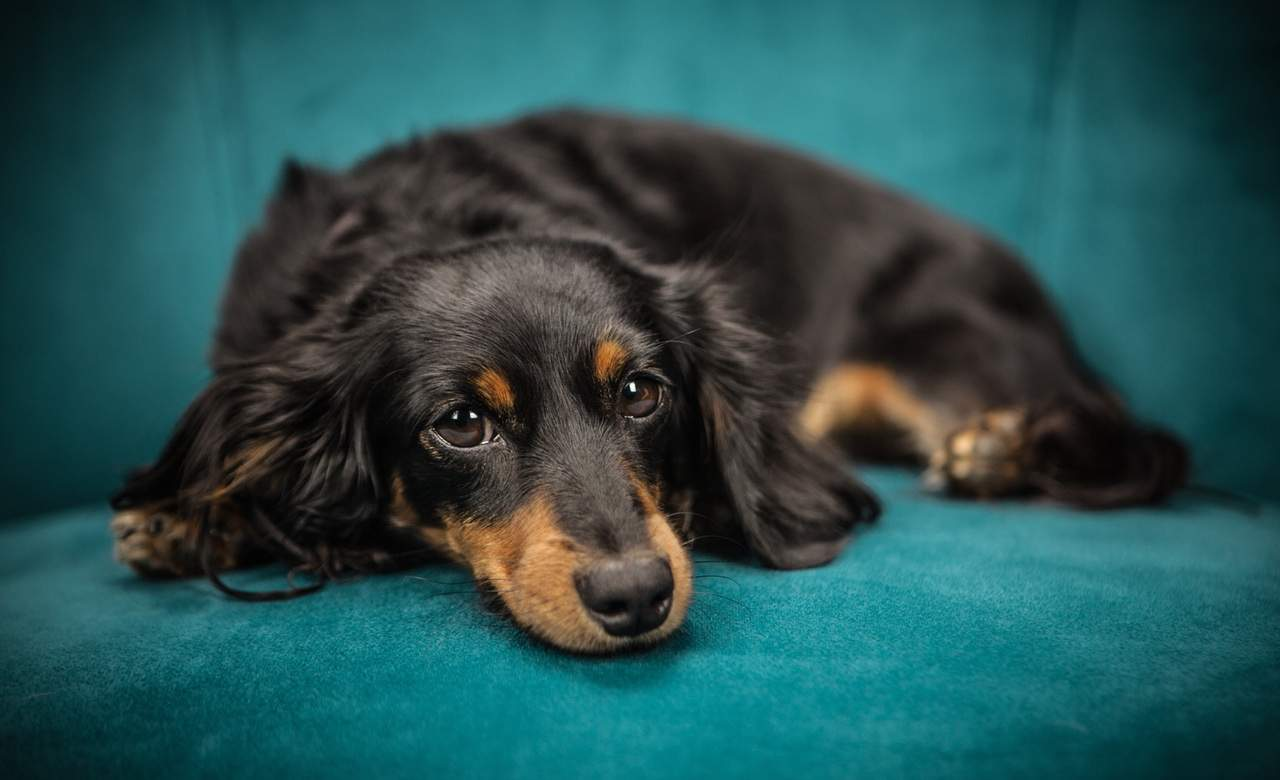 Melbourne's NGV Is Hosting an Adorable Australia Day Dachshund Fashion Parade