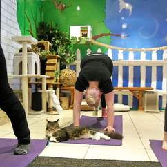 Big Mews: You Can Now Do Cat Yoga in Auckland