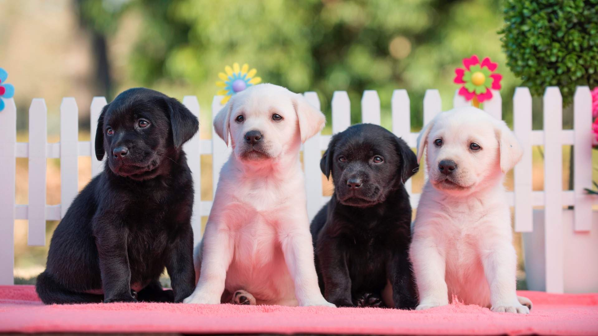 You Can Raise Funds For Guide Dogs Australia by Walking Your Furry Friend This August