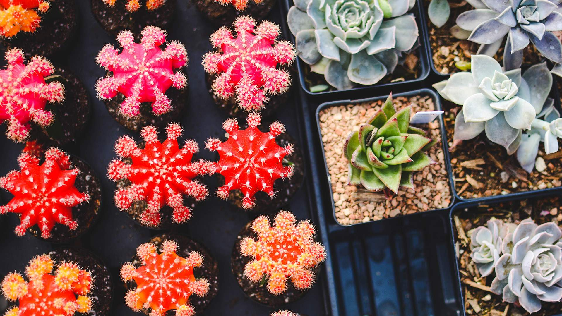 Christmas Succulent, Cacti and Gift Pop-Up