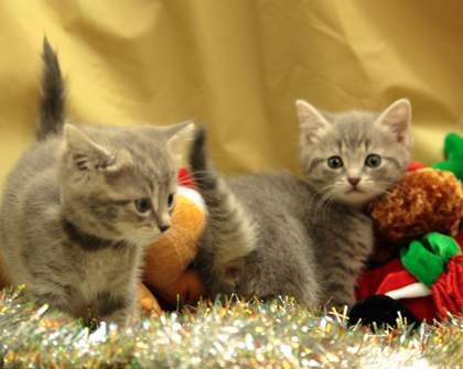 The Cat Protection Society of Victoria Needs New Homes For Kittens Like These