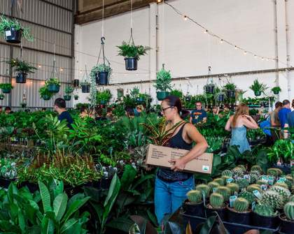 Philodendron Safari Party Indoor Plant Sale