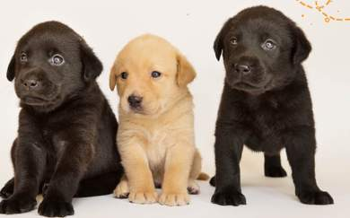 Guide Dogs NSW Needs You to Help Raise Its Newest Balls of Fluff