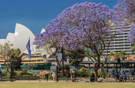 Sydney Is About to Be Shrouded in Purple Flowers as Jacaranda Season Returns for 2020