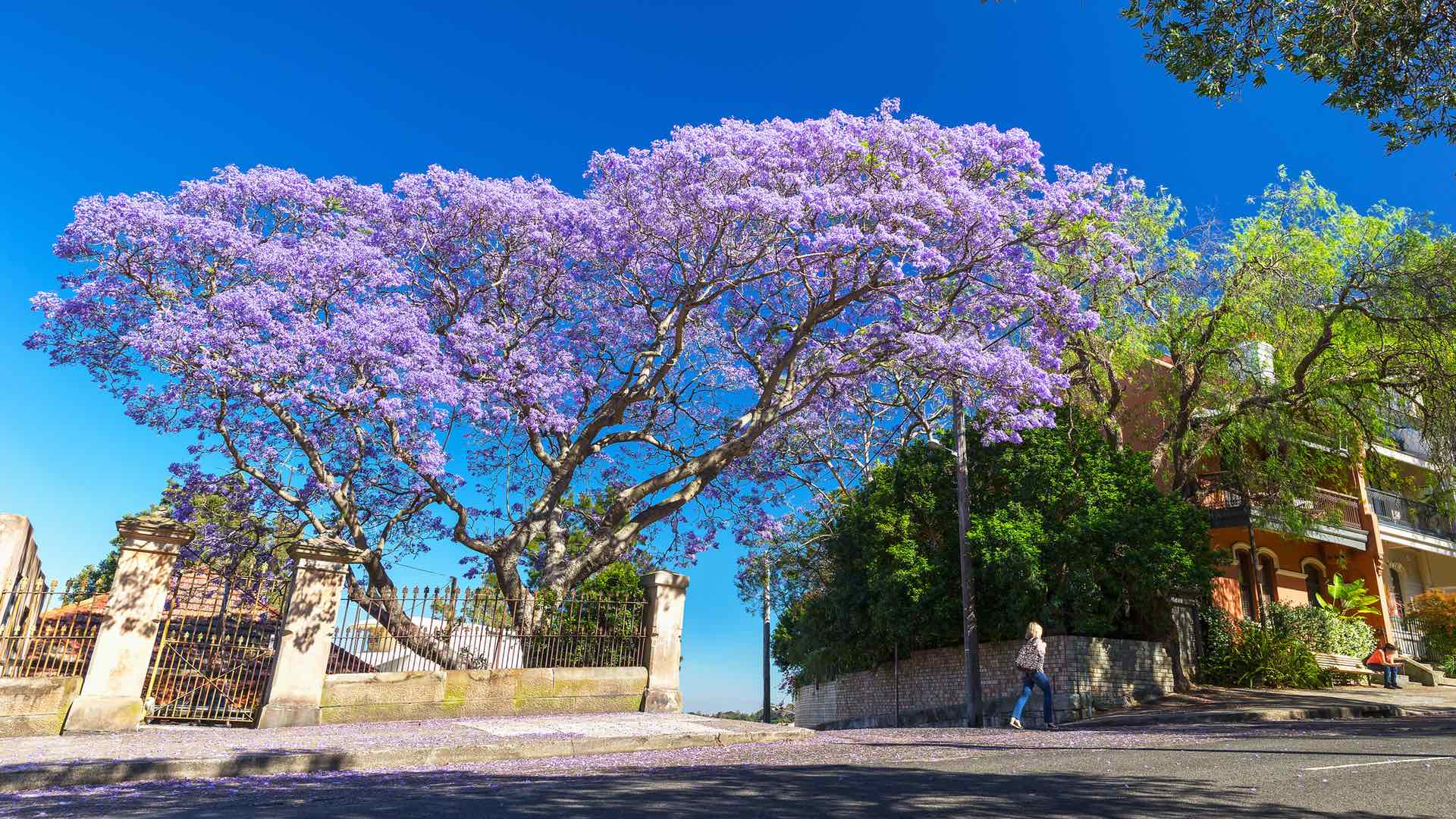 Sydney Is About to Be Shrouded in Purple Flowers as Jacaranda Season Returns