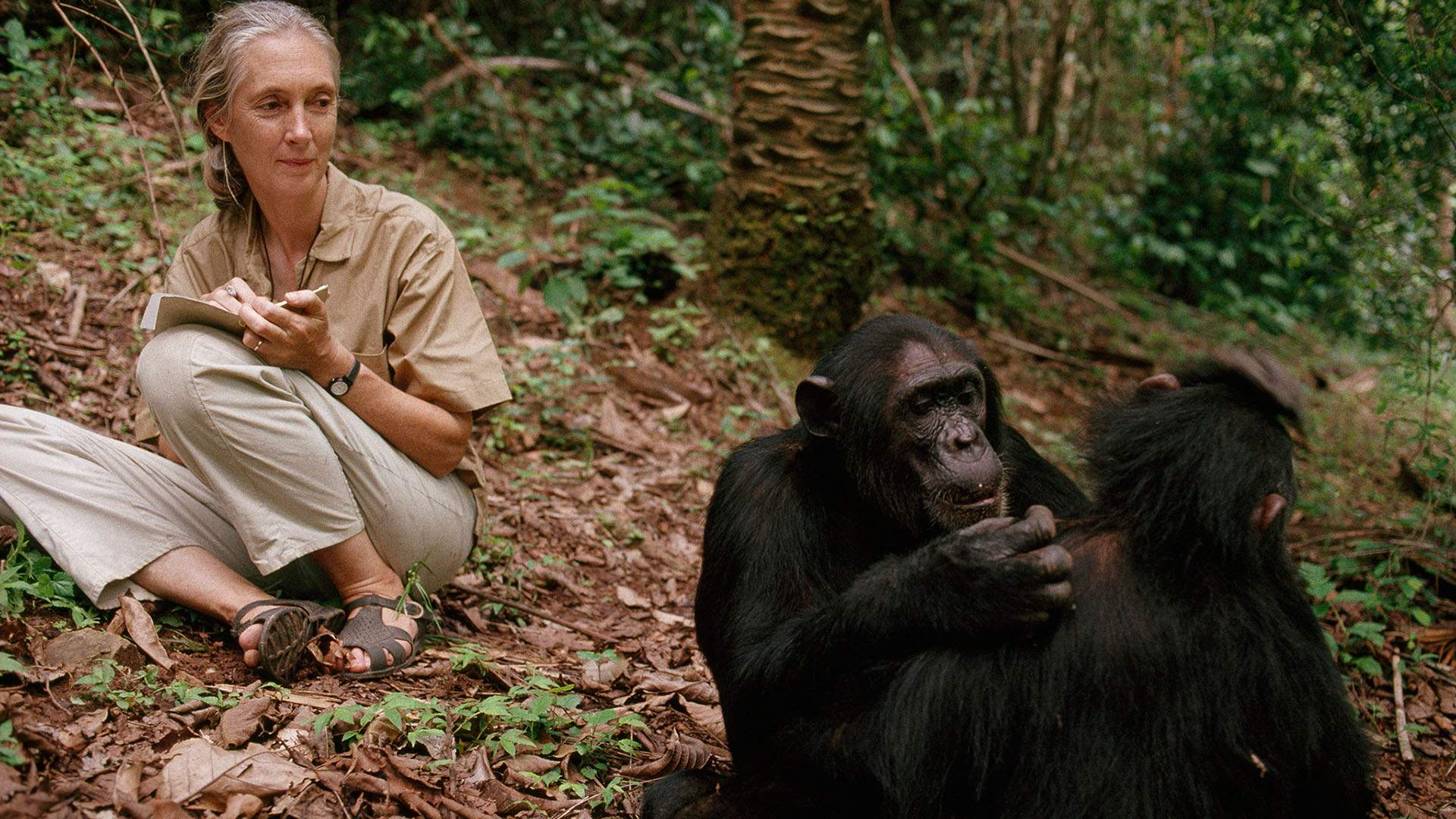 Dr Jane Goodall Is Coming to New Zealand to Chat About Her Pioneering Work with Chimpanzees