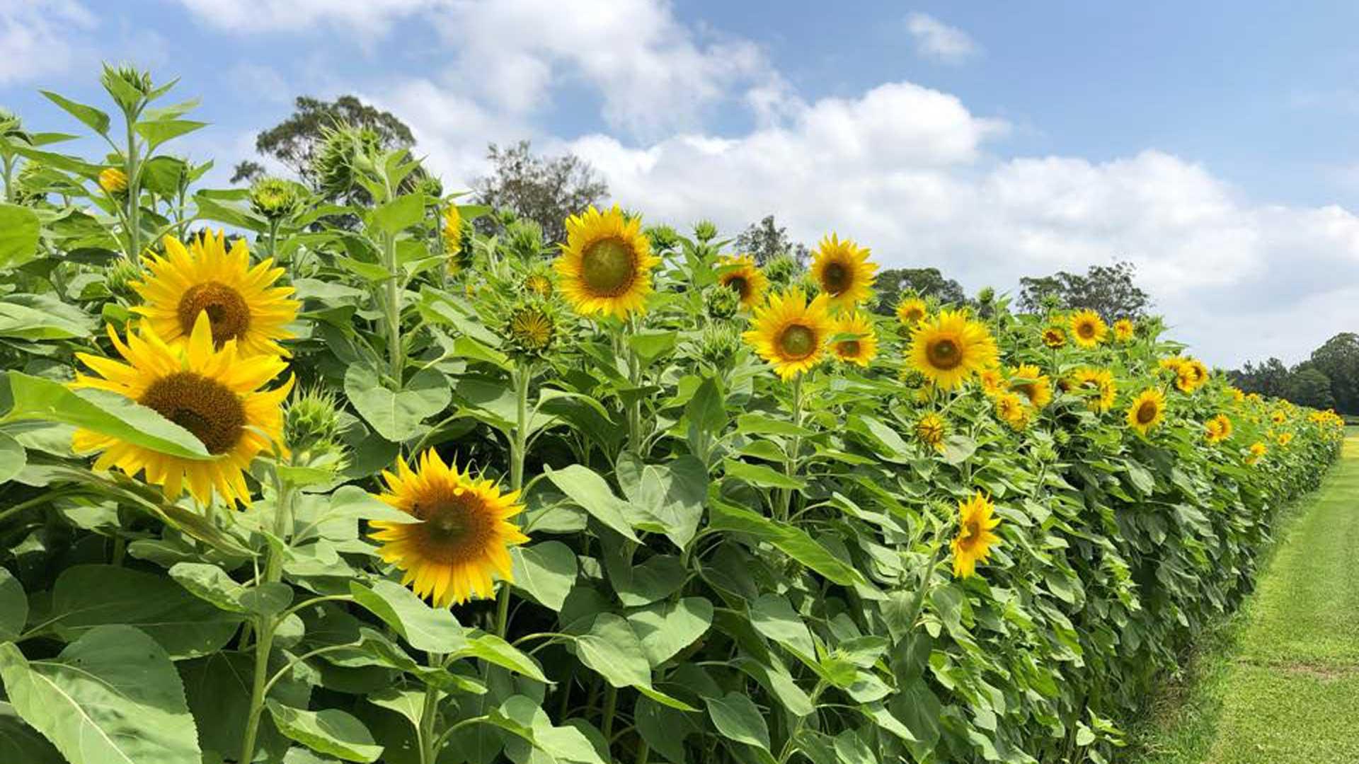 The Central Coast Sunflower Harvest