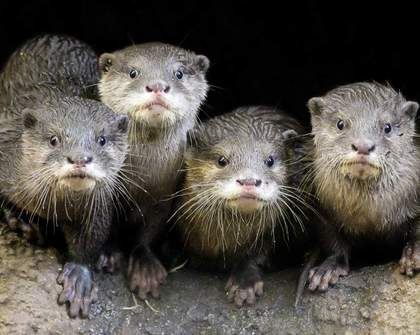 Melbourne Zoo Is Live-Streaming Its Adorable Small-Clawed Otters 24/7