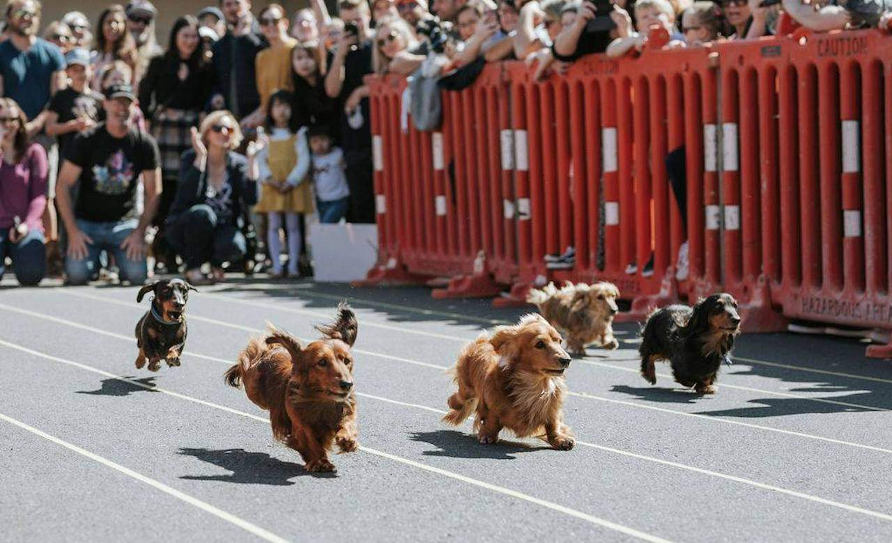 NZ Wiener Dog Derby
