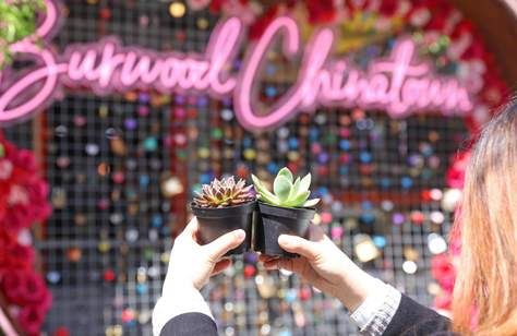 Free Succulents at Burwood Chinatown