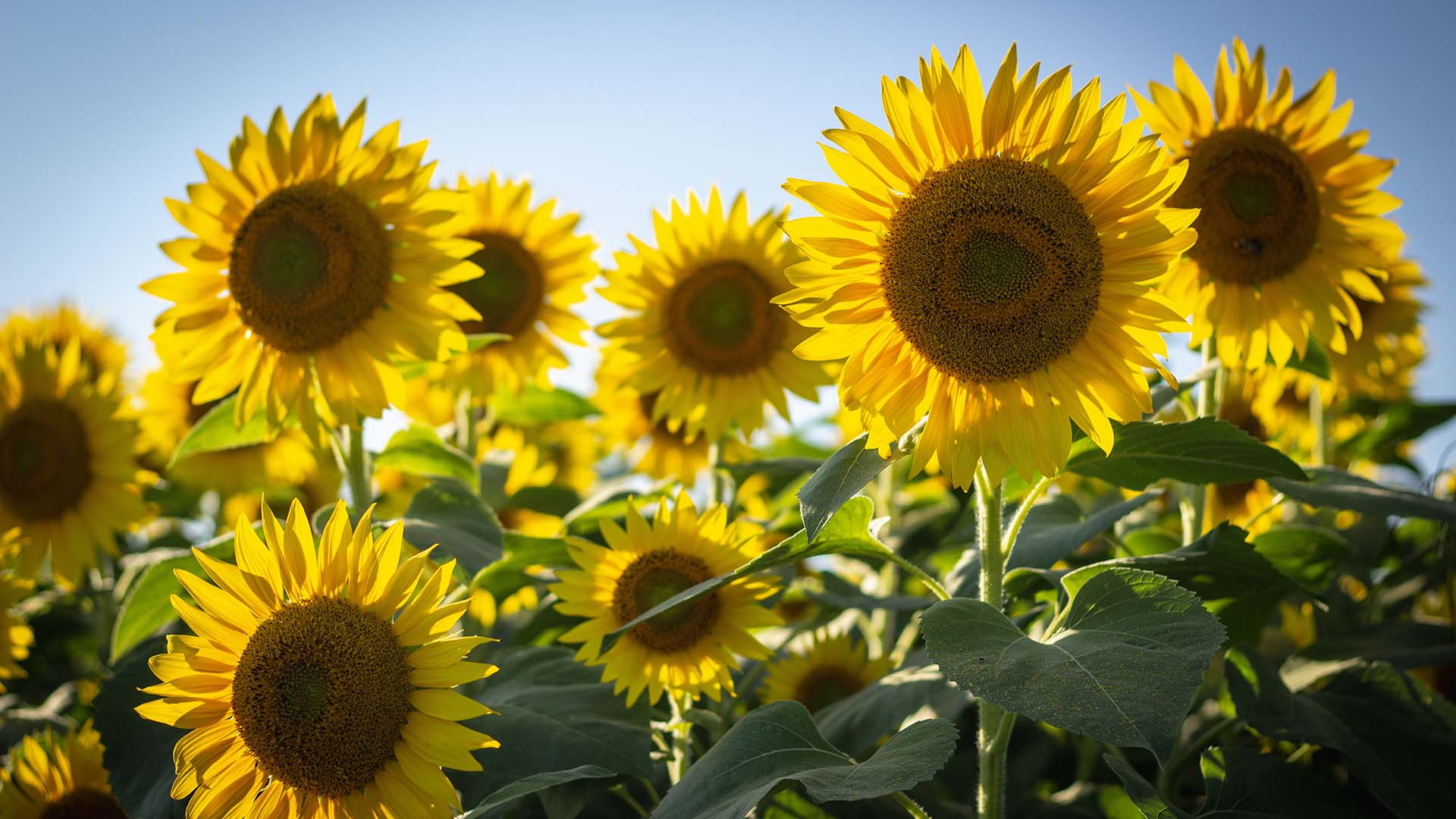 This New Scenic Rim Festival Will Let You Wander Through More Than 200,000 Sunflowers