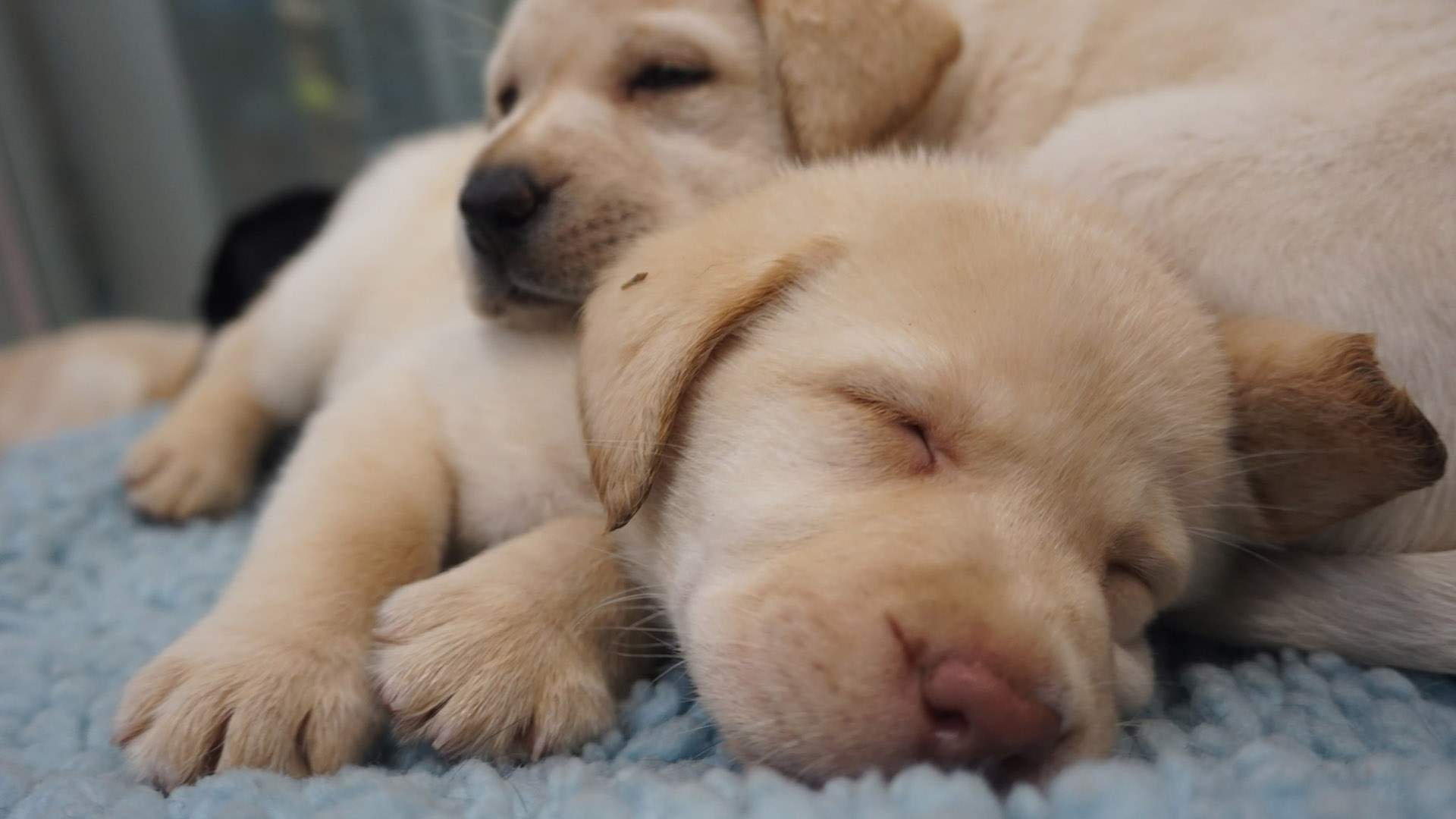Seeing Eye Dogs Australia Needs You to Look After These Fresh New Pups