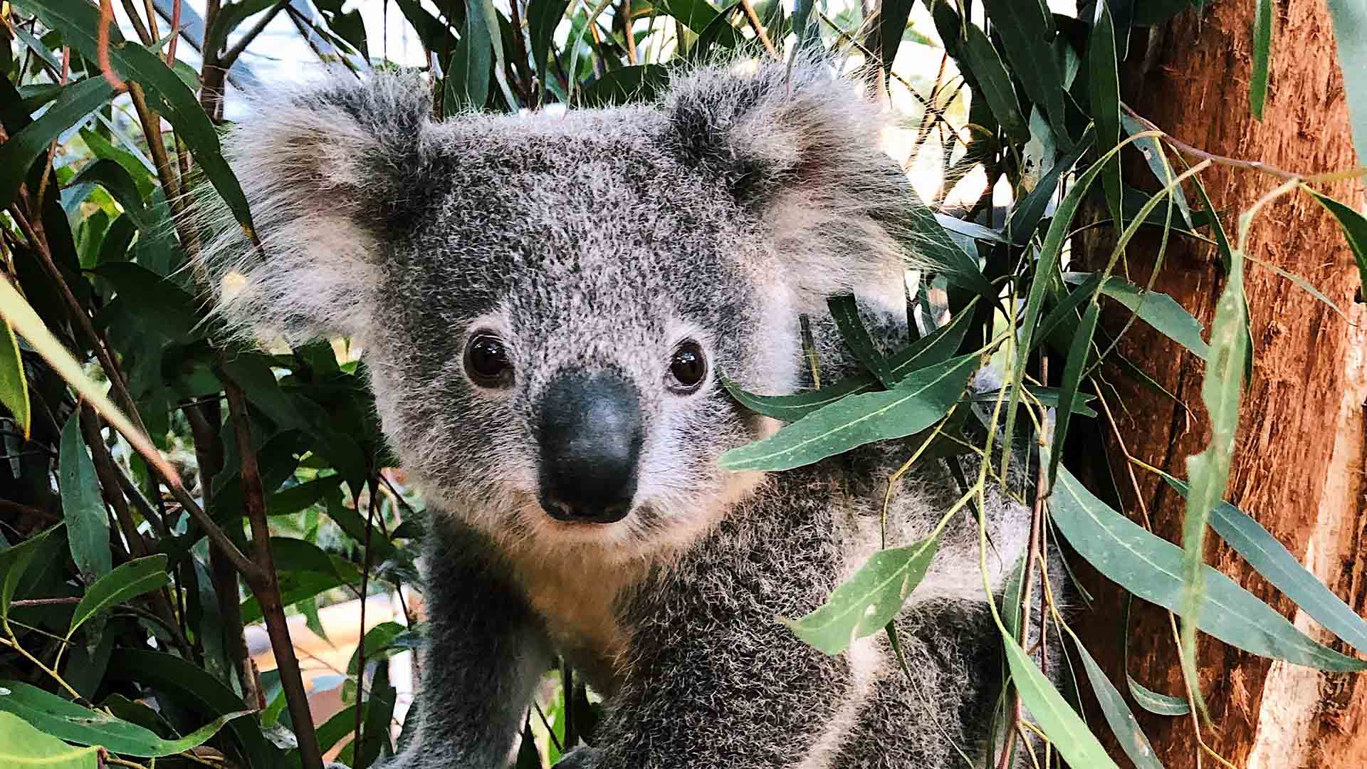 Taronga Zoo Has Released Footage of Its Adorable Koala Joey If Your Day Could Use Some Cuteness
