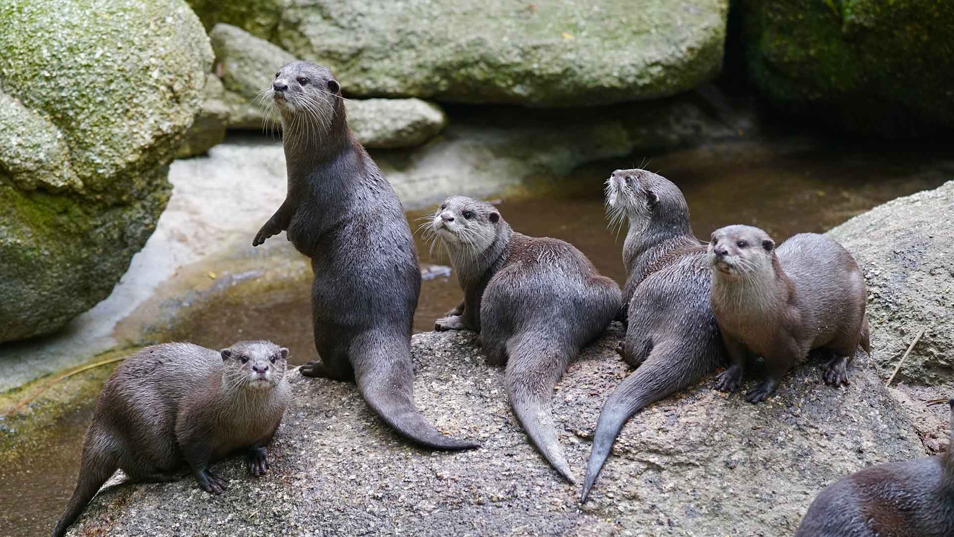 Melbourne Zoo Is Live-Streaming Its Adorable Family of Small-Clawed Otters 24/7 Again